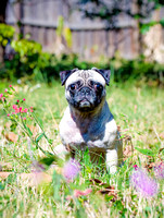 Pug sitting in a field of flowers