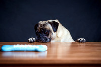 Pug waits for his treat