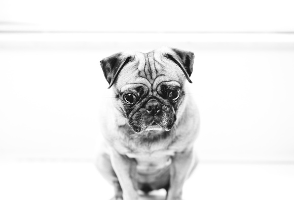 Pug poses for the camera